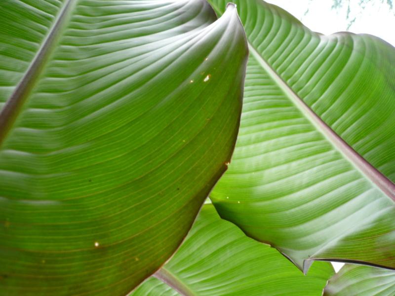 Canna musafolia 'peruviana' P1000533