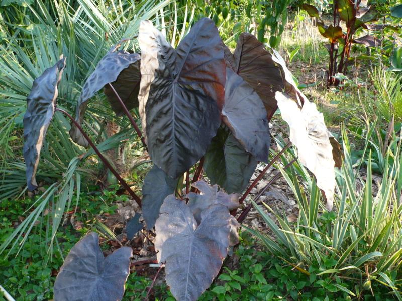 Jardin guiziérois P1000725