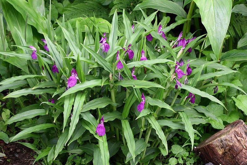 Roscoea auriculata Roscoe16