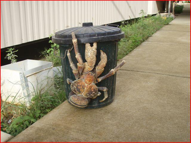 Pour Noël, quoi de meilleur? Crabe_10