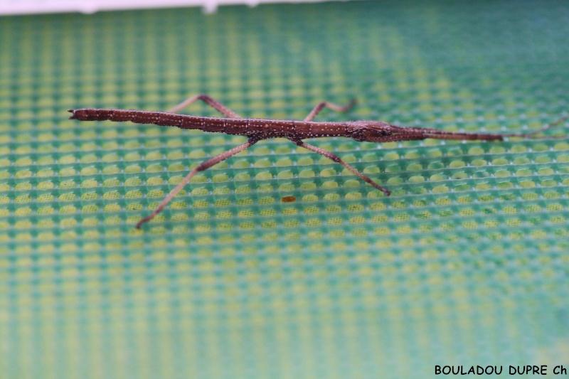 Hesperophasma sp (République Dominicaine) Img_9210