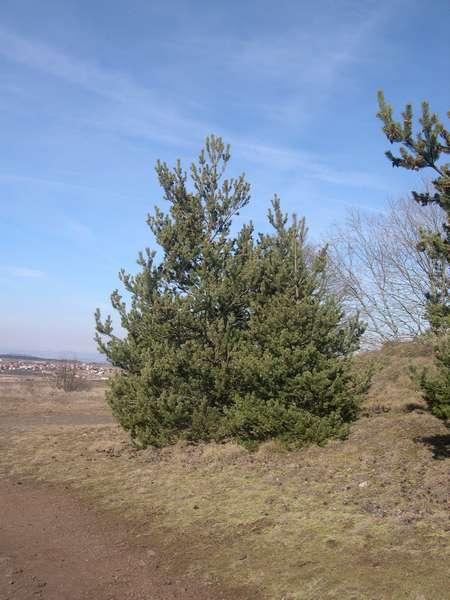 Promenade dans les pins sylvestres Pinsyl10
