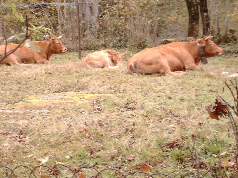 Les vaches font trop de bruits Esteno12