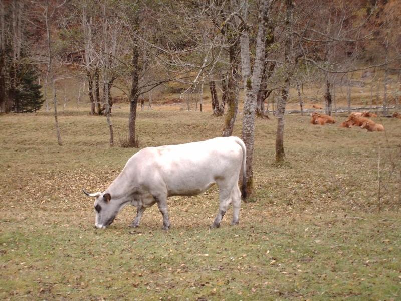 Les vaches font trop de bruits Esteno13