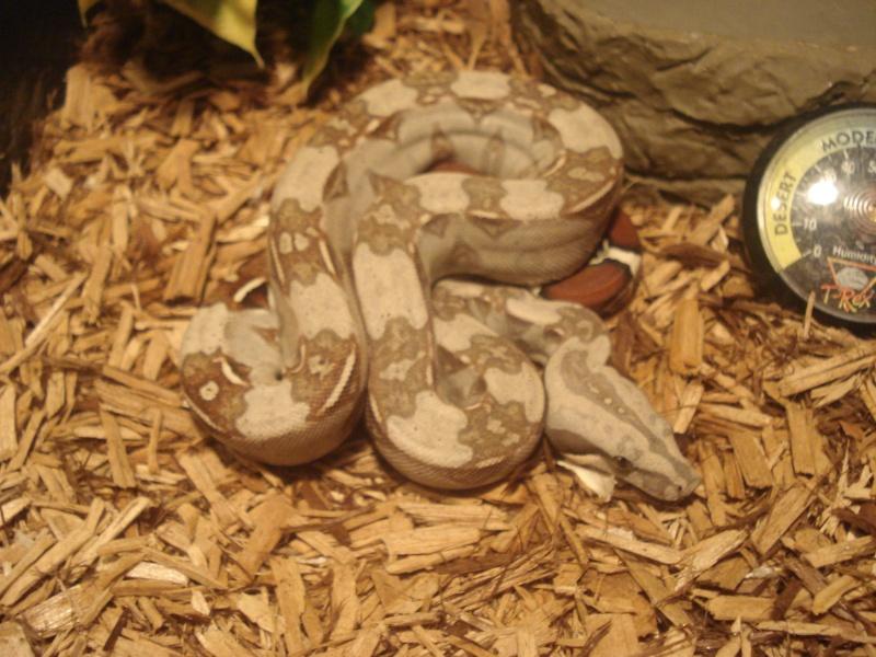 demande d'infos : Vie quotidienne avec son serpent / boa ou Morélia : Les tofs page 4 - Page 3 Dsc05412