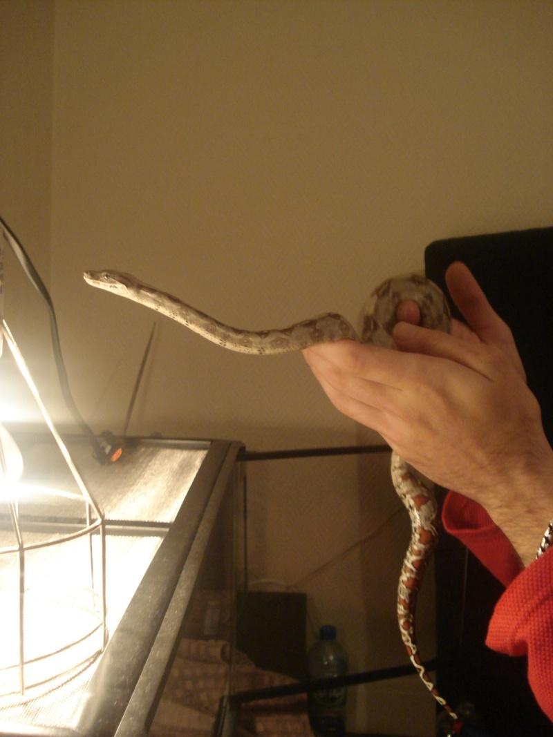 demande d'infos : Vie quotidienne avec son serpent / boa ou Morélia : Les tofs page 4 - Page 3 Dsc05416