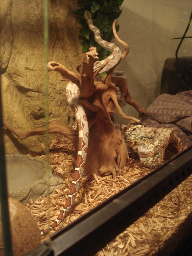 demande d'infos : Vie quotidienne avec son serpent / boa ou Morélia : Les tofs page 4 - Page 3 Dsc05419