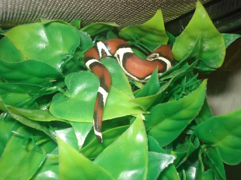 demande d'infos : Vie quotidienne avec son serpent / boa ou Morélia : Les tofs page 4 - Page 3 Dsc05424