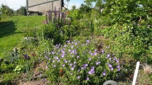 Plantation de géraniums vivaces P1010515