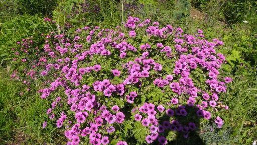 Plantation de géraniums vivaces P1010614