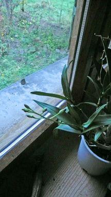 Phalaenopsis - conseil d'entretien P1020265