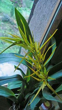 Phalaenopsis - conseil d'entretien P1020267