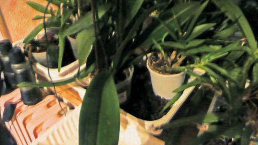 Phalaenopsis - conseil d'entretien P1020419