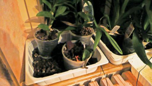 Phalaenopsis - conseil d'entretien P1020420