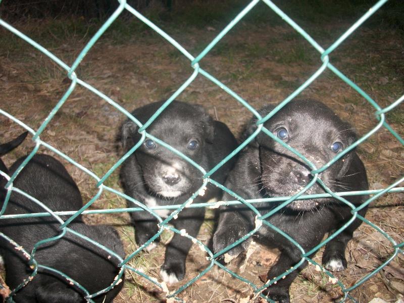 4 bébés setter croisés labrador Bb_set10
