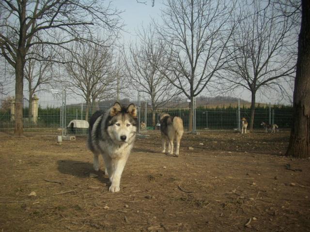 OUKIOK Superbe! malamute x husky (m) 13ans asso Eden Valley (26)DECEDE Papi_o10