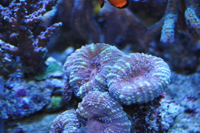 le reef tank d'harold - Page 39 A11