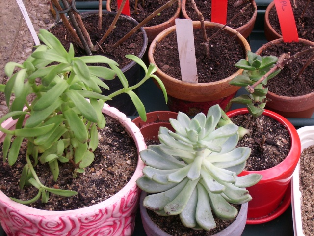 """Les plantes """"grasse"""" - Page 4 Ssa51225"""