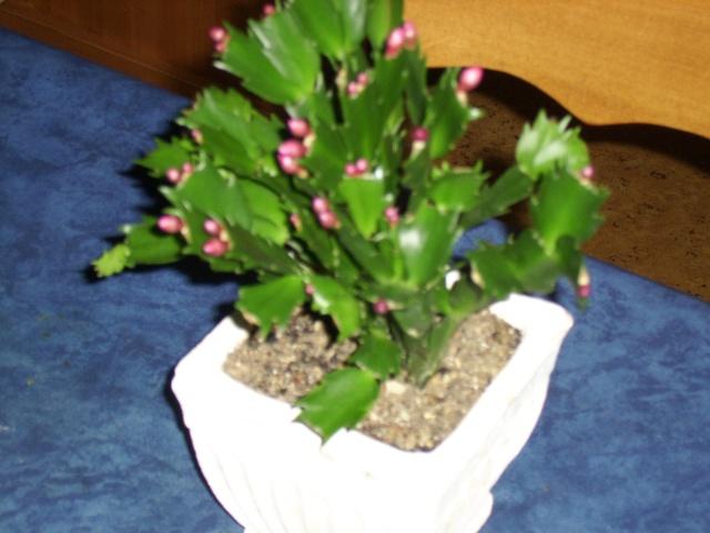 """Les plantes """"grasse"""" - Page 3 Ssa51226"""