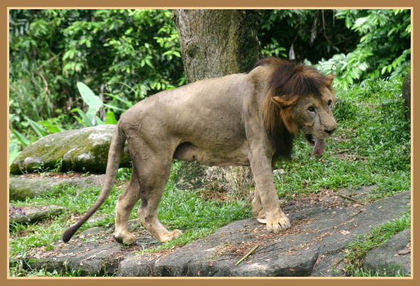 LION - panthera leo - Page 2 26610