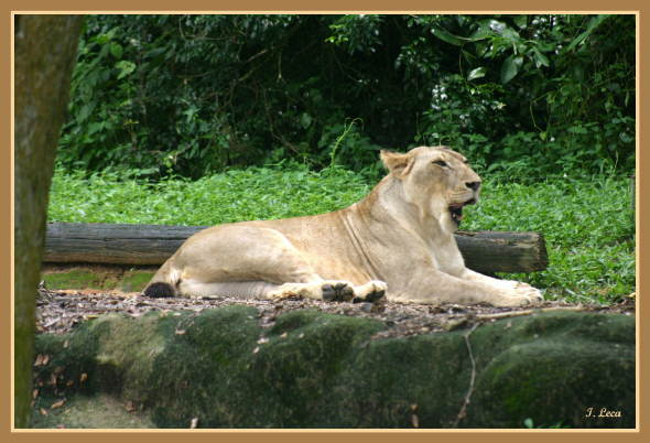 LION - panthera leo - Page 2 26710