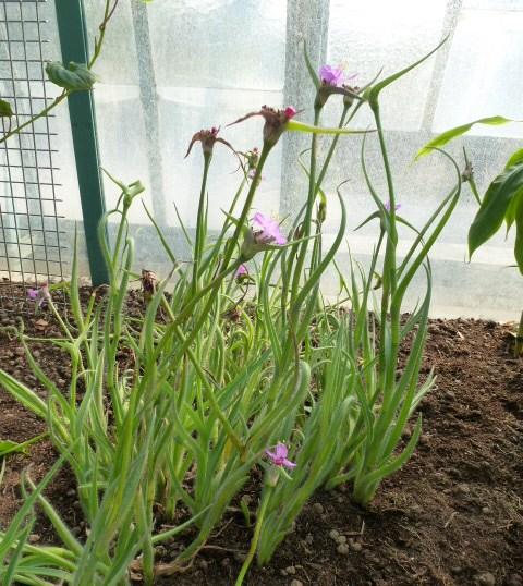 Une jolie commelinaceae ELASIS hirsuta  P1040434