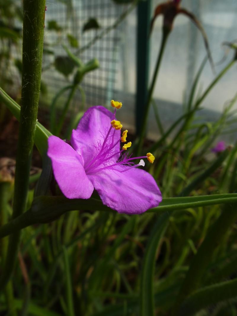 Une jolie commelinaceae ELASIS hirsuta  P1040435