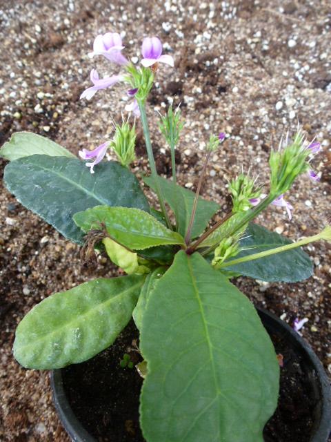 Connaissez vous cette plante ??? Tetranema roseum P1040510