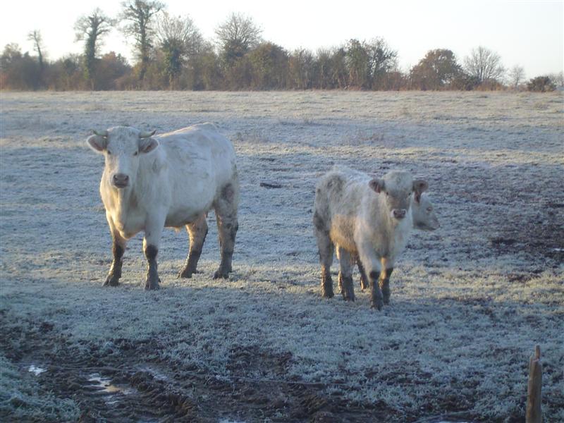 Les photos vaches Dsc07026