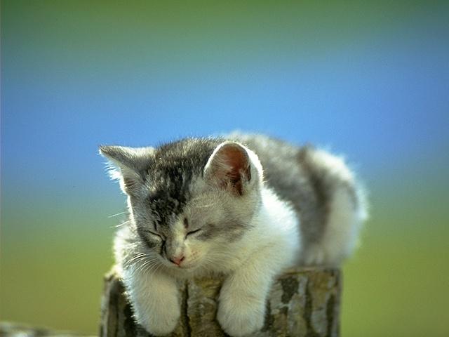 pisicikler Kedi_r15