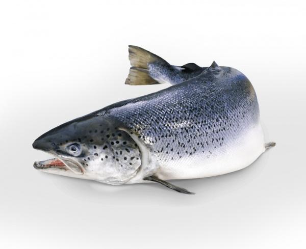 سمك السلمون الأطلسي  About-11