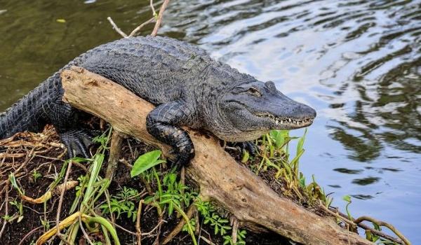 ماذا تعرف عن التمساح الأمريكي وما مدى خطورته؟  Americ10