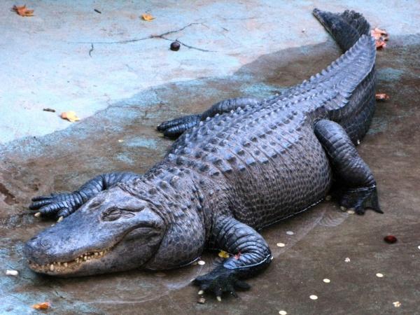 ماذا تعرف عن التمساح الأمريكي وما مدى خطورته؟  Americ12