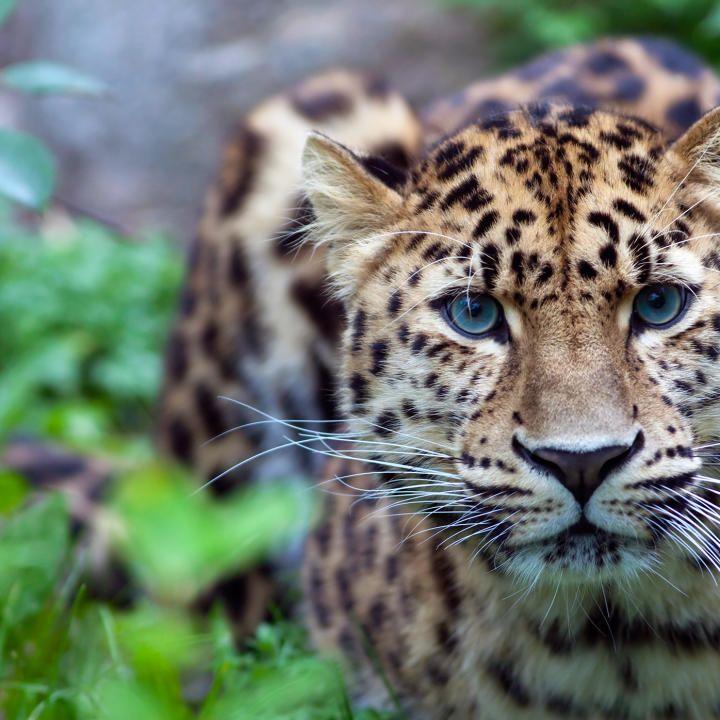 الأنواع المهددة بالانقراض Amur-l10
