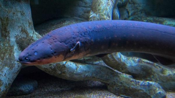 8 معلومات مثيرة عن ثعبان البحر الكهربائي بالصور والفيديو  Electr10