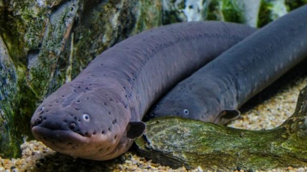 8 معلومات مثيرة عن ثعبان البحر الكهربائي بالصور والفيديو  Electr11