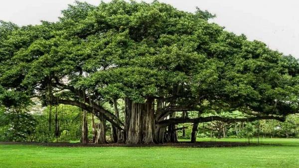 ما هي كمية الأكسجين التي تنتجها الأشجار ؟  Trees-10
