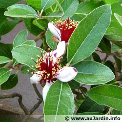 cherche plant ou graine de FEIJOA Feijoa10