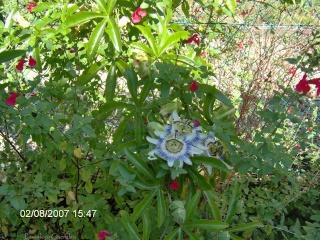 Urgent! BB passiflora caerulea à adopter ! Passif10