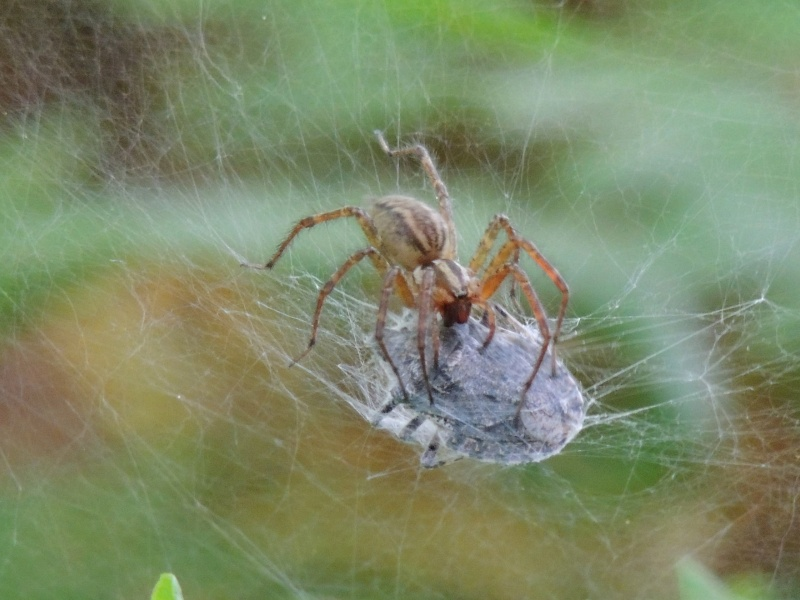 id araignée 1-dscn87