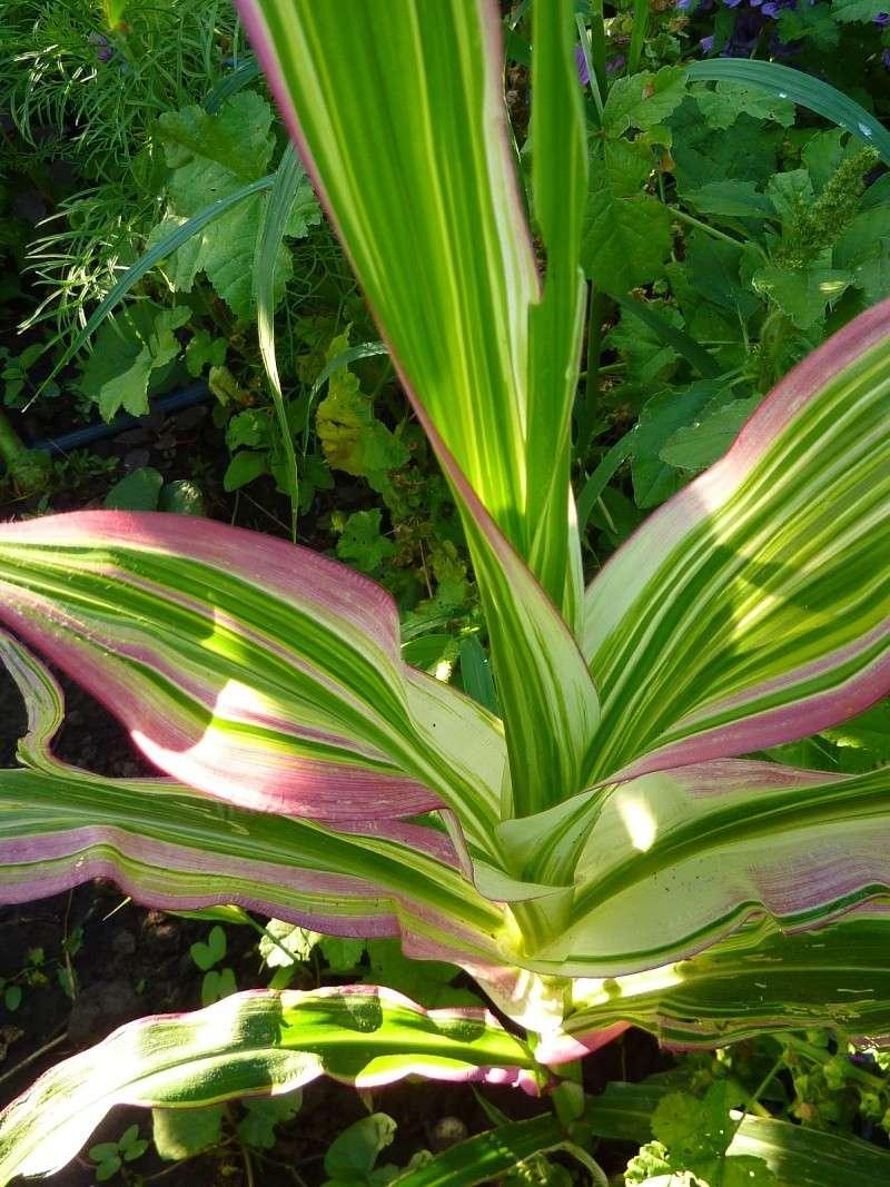 Floraison costus arabicus variegata 08410