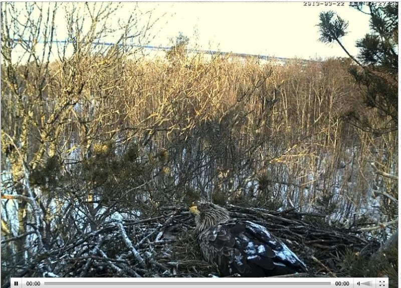 White-tailed Eagle Nest Cam 2013 Arkas10