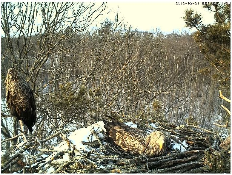 White-tailed Eagle Nest Cam 2013 Harjut10