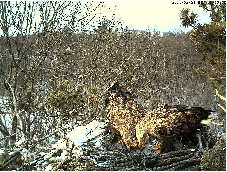 White-tailed Eagle Nest Cam 2013 Kaheke10