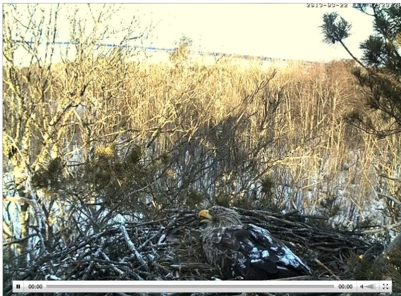 White-tailed Eagle Nest Cam 2013 Kutsub10