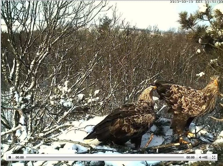 White-tailed Eagle Nest Cam 2013 Linda_10