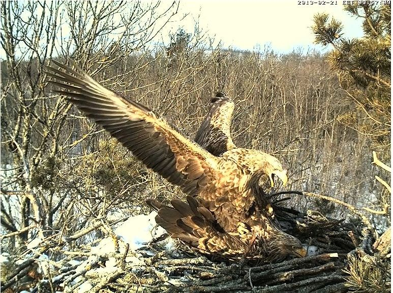 White-tailed Eagle Nest Cam 2013 Mattin10