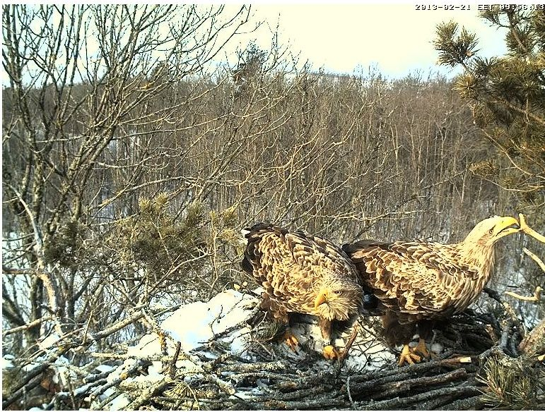 White-tailed Eagle Nest Cam 2013 Oksa_r10