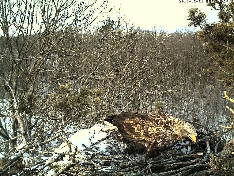 White-tailed Eagle Nest Cam 2013 Oksasa10