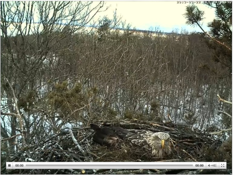 White-tailed Eagle Nest Cam 2013 Sulevp10